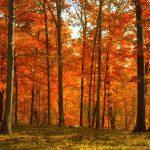 кленовый лес
